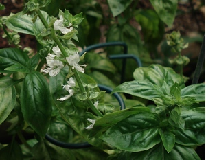 basil-in-bloom