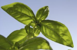 Basil Leaves