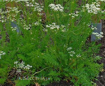 Growing Caraway Plant