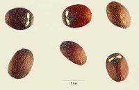 Catnip Seeds