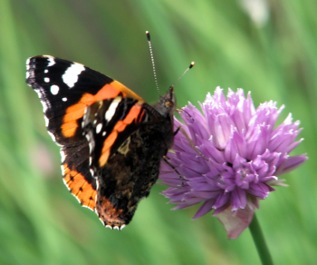 Chive Flower & Butterfly