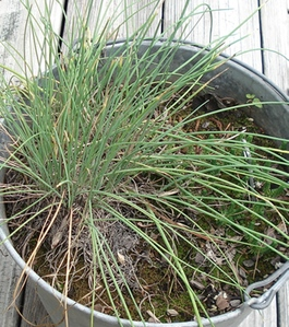 growing chive in a pot