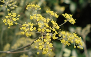 Fennel in bloom