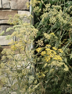 Neighbor's beautiful fennel plant. Isn't it pretty against her stone wall.