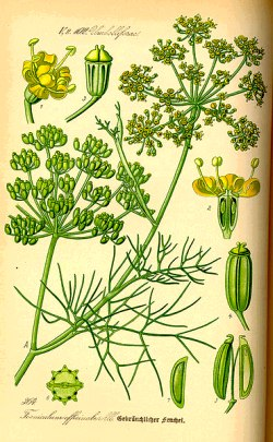 Fennel Life Cycle
