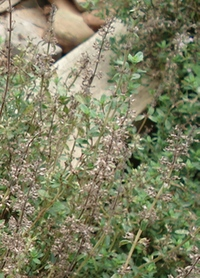 growing-thyme