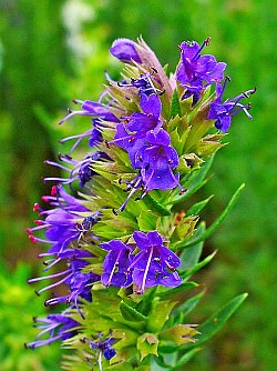 Hyssop in Flower
