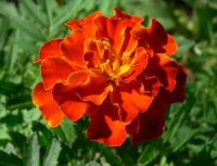 Blooming Marigold