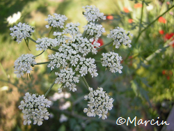 Parsley in Flower