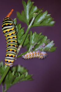 Swallowtail Caterpillars on a Parsley Plant
