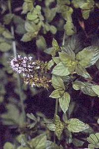 Peppermint Plant in Flower