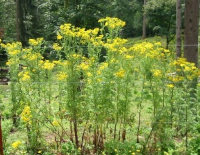 Tansy Plants in Flower