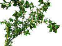 Thyme Plant