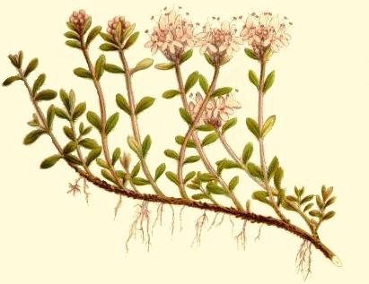Creeping Thyme Botanical Drawing