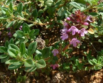 Thymus serphyllum photo courtesy of J.F. Gaffard