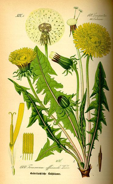 Taraxacum offiicinale botanical study from 1885 text Flora von Deutschland, Osterreich und der Schweiz by Prof. Dr. Otto Wilhelm Thome.