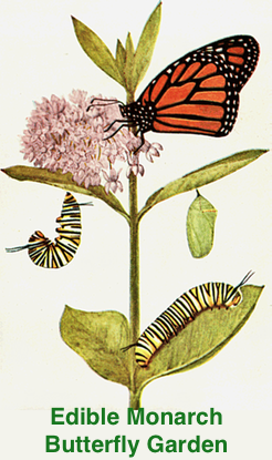 butterfly garden for monarchs