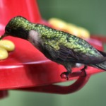 feeding-hummingbird