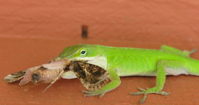 anole-eating