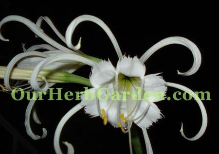 peruvian-daffodil
