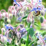 Borage flowers with honeybee