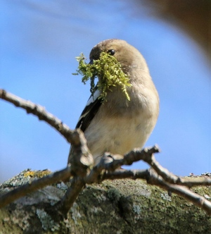 chaffinch-moss-nest