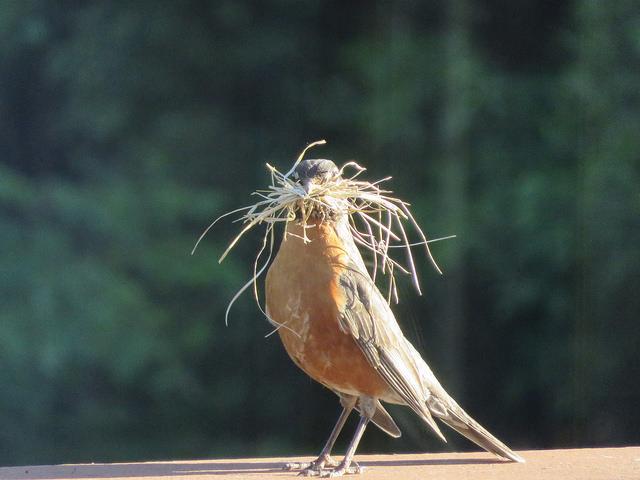 robbin-nest-builder