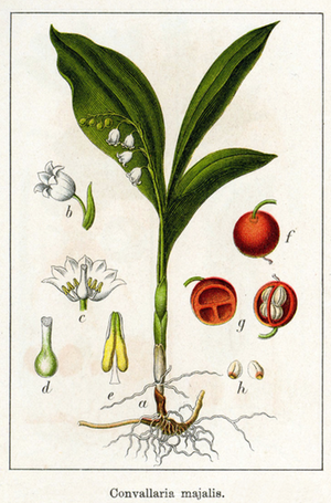 botanical print of convallaria majalis life cycle for growing lily of the valley
