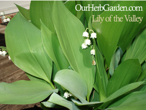 potted lilies of the valley