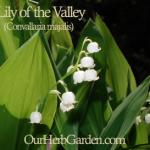 Convallaria majalis in bloom