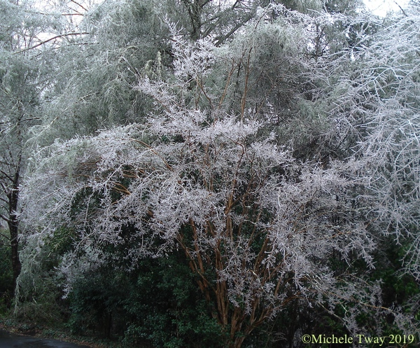 our crape myrtle, 2019 ice storm