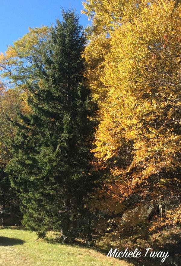 north carolina mountain red spruce
